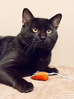 Domestic Shorthair Cat for adoption in Chicago, Illinois - Travis