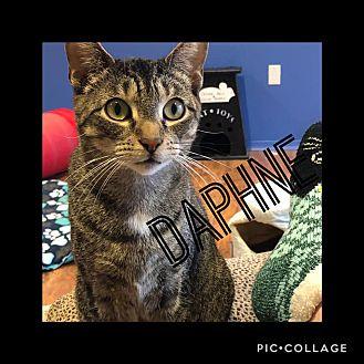 Adopt A Pet :: Daphne  - Toms River, NJ