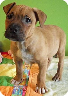 Struthers Oh Boxer Meet Shelton A Pet For Adoption