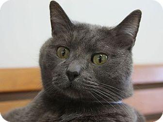 Domestic Shorthair Cat for adoption in Hawthorne, California - Jet Blue