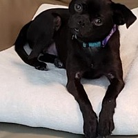 Pug Puppies for Sale in Wisconsin - Adoptapet com