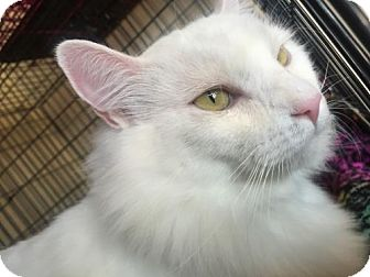 Turkish Angora Cat for adoption in Corona, California - LEON - PASADENA