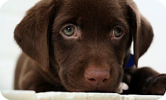 Sherburne Ny Labrador Retriever Meet Chocolate Lab 1 A