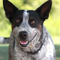 Adopt A Pet :: PALOMA - Kyle, TX