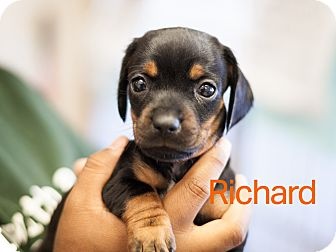 Terrier (Unknown Type, Small) Mix Puppy for adoption in Dallas, Texas - Richard