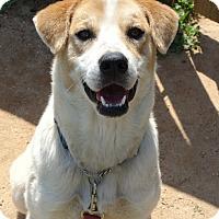 Adopt A Pet :: lady - Lebanon, CT