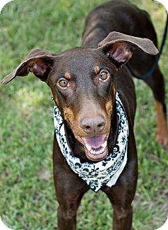 Doberman Pinscher Dog for adoption in Portsmouth, Rhode Island - Scarlet