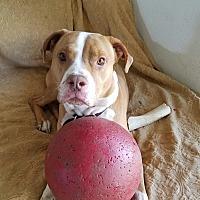 Adopt A Pet :: Rusty - Sherman Oaks, CA