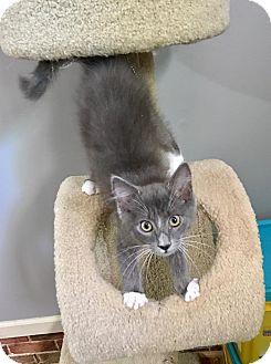Domestic Shorthair Kitten for adoption in Tega Cay, South Carolina - Gaston