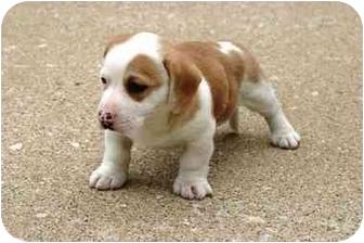 Newburgh In Boxer Meet Thomas A Pet For Adoption