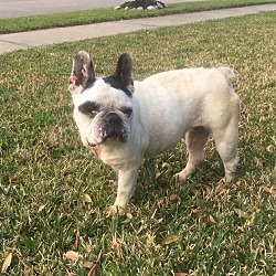 French Bulldog Puppies for Sale in Texas - Adoptapet com