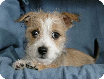Sacramento, CA - Wirehaired Fox Terrier. Meet Daphne a Dog for ...