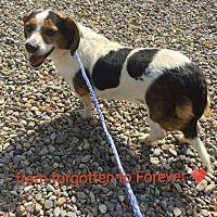 Adopt A Pet :: Calleigh - Albuquerque, NM
