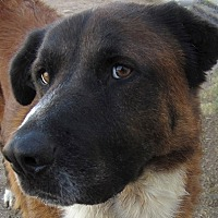 Adopt A Pet :: BRUTUS - Glendale, AZ