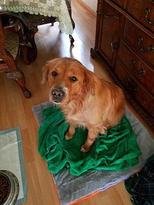 San Jose Ca Golden Retriever Meet Sandy A Pet For Adoption