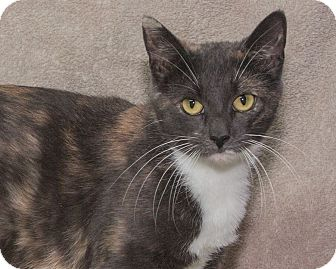 Domestic Shorthair Cat for adoption in Elmwood Park, New Jersey - Cammi