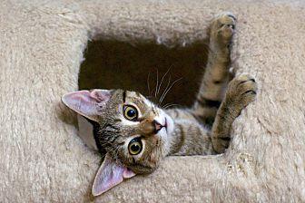 Adopt A Pet :: Shuri & TChalla  - Troy, MI