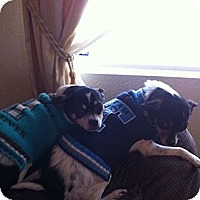 Adopt A Pet :: BEEFY & CHEWY - Reno, NV