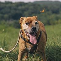 Adopt A Pet :: Brownie - Nashville, TN