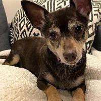 Adopt A Pet :: Phoebe - Vienna, VA