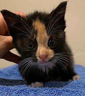 Adopt A Pet :: Flame  - Dumfries, VA