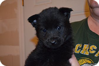 Border Collie Mix Puppy for adoption in Westminster, Colorado - Leyla