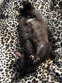 Adopt A Pet :: Julia  - Toms River, NJ