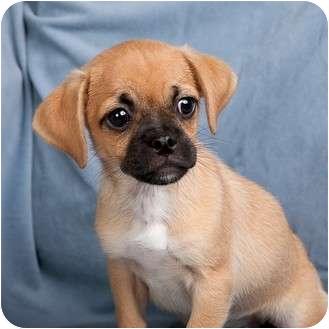 Anna Il Pug Meet Chastity A Pet For Adoption