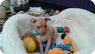 Chihuahua/Dachshund Mix Puppy for adoption in Thousand Oaks, California - Sebastian