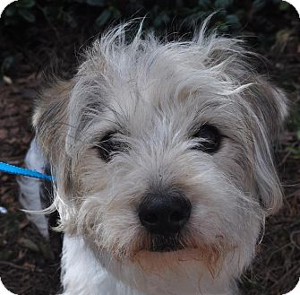 Atlanta, GA - Wirehaired Fox Terrier. Meet Cayman a Dog for Adoption.