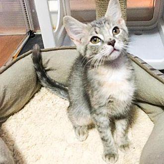 Adopt A Pet :: MM-Abigail  - Devon, PA