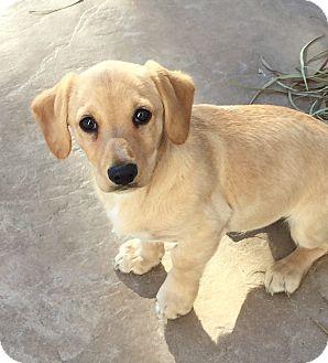Las Vegas Nv Labrador Retriever Meet Frank A Pet For Adoption