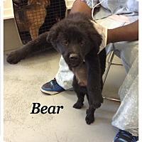 Adopt A Pet :: Bear - Tampa, FL