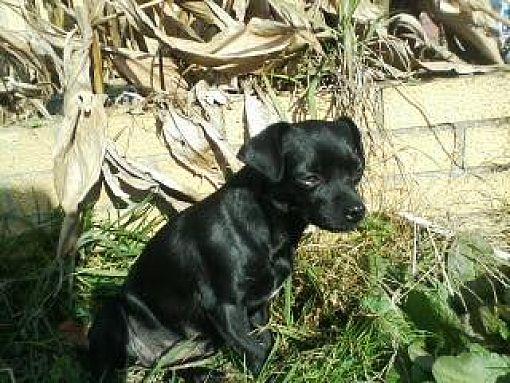 Albany Ny Pug Meet Chloe A Pet For Adoption
