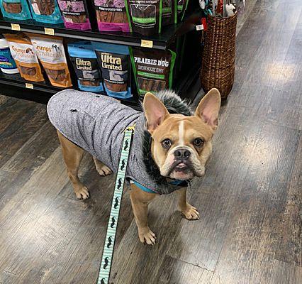 Hamilton Square, NJ - French Bulldog  Meet Chubbs a Pet for