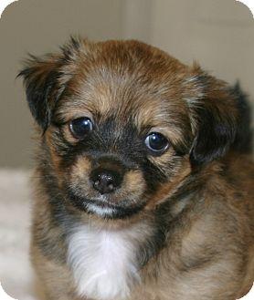 Santa Ana Ca Pomeranian Meet Fluffy A Pet For Adoption