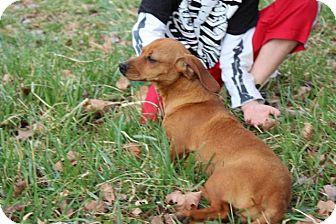 Dachshund/Beagle Mix Dog for adoption in Allentown, Pennsylvania - Zelda (Reduced)