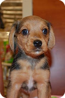 yorkie rescue kentucky lexington ky beagle meet beagle yorkie mix puppies a 4735