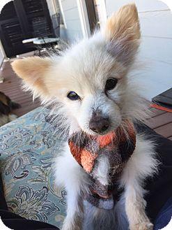 Pomeranian Mix Dog for adoption in Nashville, Tennessee - Tom the Pom