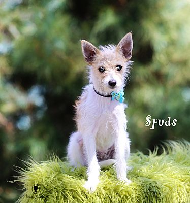Lubbock Tx Wirehaired Fox Terrier