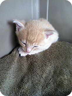 Domestic Shorthair Kitten for adoption in Kendalia, Texas - Cato