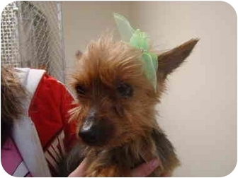 Yorkie, Yorkshire Terrier Dog for adoption in Vandalia, Illinois - Libby