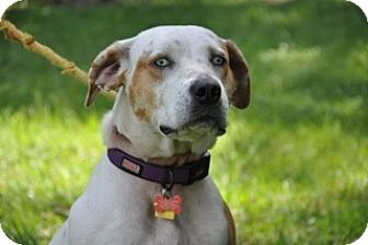 Catahoula Leopard Dog Mix Dog for adoption in Palm City, Florida - Bonnie
