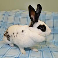 Adopt A Pet :: Paula Ann - Chesterfield, MO