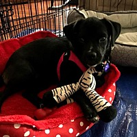 Pug Puppies for Sale in Virginia Beach Virginia - Adoptapet com