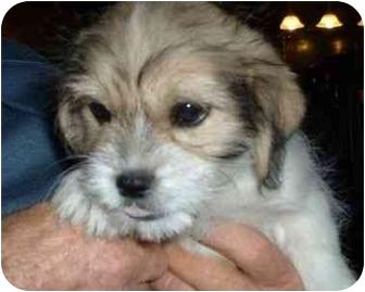 Makinen Mn Shih Tzu Meet Corky A Pet For Adoption
