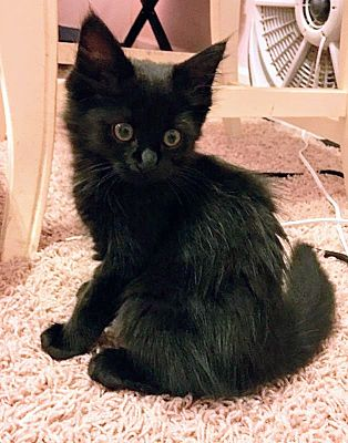 Charlotte, NC - Maine Coon  Meet Mystic a Pet for Adoption