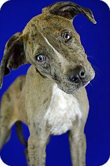 Catahoula Leopard Dog Mix Puppy for adoption in LAFAYETTE, Louisiana - CORKY