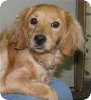 Salem Oh Golden Retriever Meet Gabrielle A Pet For Adoption