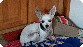 Chihuahua Mix Dog for adoption in Seattle, Washington - Sparkles